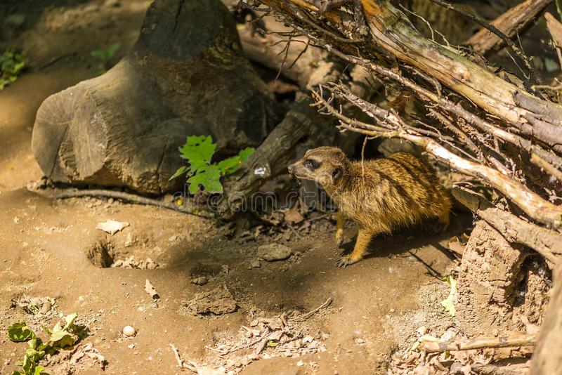 Nahes hohes Porträt des sitzenden meerkat oder des suricate, Seitenansicht Suricata suricatta Profils, selektiver Fokus stockbilder