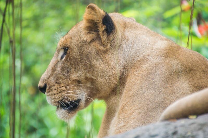 Nahes hohes Porträt eines Löwinkopfes stockfotografie