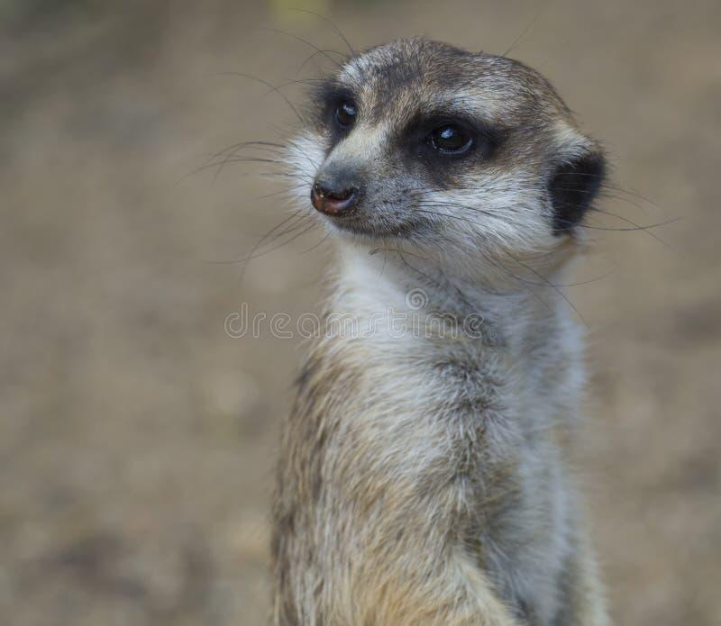 Nahes hohes Porträt von meerkat oder von suricate, Suricata suricatta, das zur Kamera, selektiver Fokus, Kopienraum für Text scha stockbild