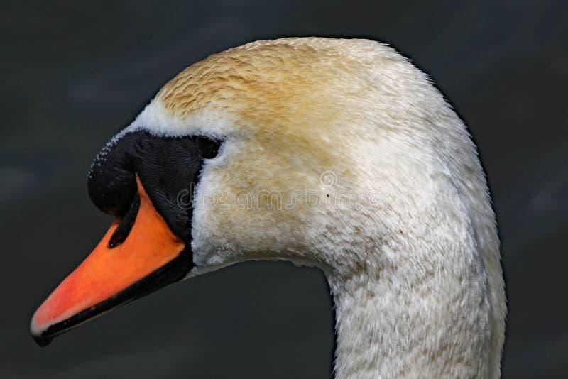 Nahes hohes Profil des Kopfes eines Höckerschwans lizenzfreie stockfotografie