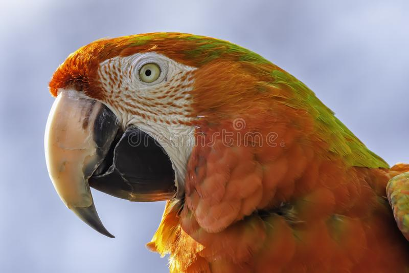 Nahes hohes Profilporträt des Scharlachrots roten Papageien des Keilschwanzsittichs Nur Tierkopf lizenzfreie stockfotos