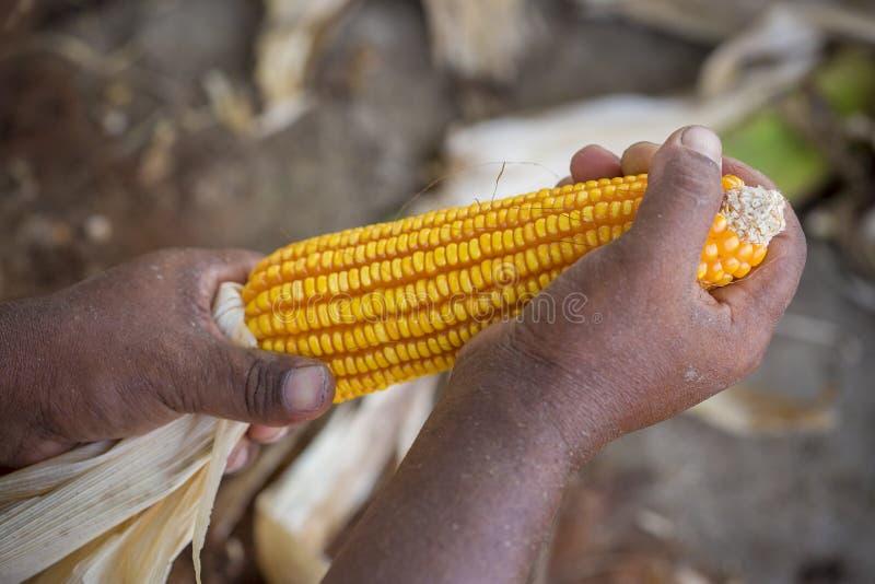 Nahes Makrotrieb von Maizebhutta-Ernte, Thakurgaon, Bangladesch lizenzfreies stockbild