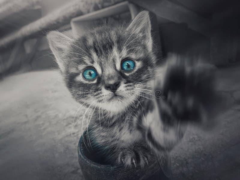 Nahes oben Schwarzweiss-Porträt eines netten kleinen gestreiften Kätzchens mit dem Kriegsgefangen ausgestreckt zur Kamera, die mi stockbilder