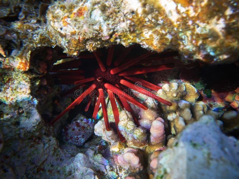 Nahes oben Unterwasserfoto des roten Schiefergriffelbengels stockfotografie