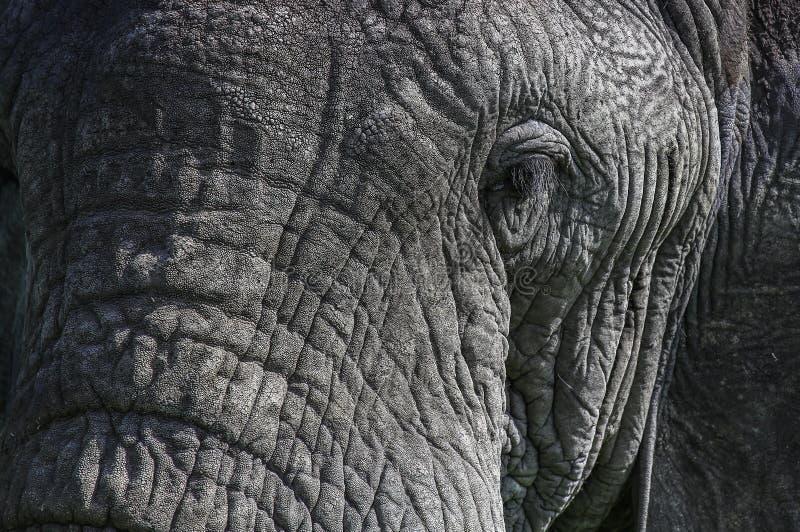 Nahes portait eines Elefantauges stockfotografie