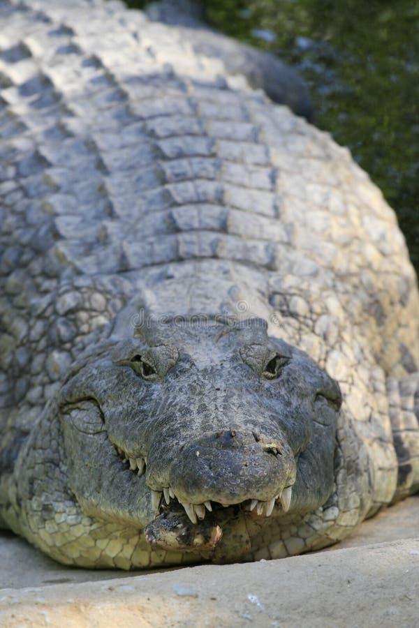 Nahes Portr?t von Nil-Krokodil, von Crocodylus niloticus, von Mund und von Z?hnen stockfotos