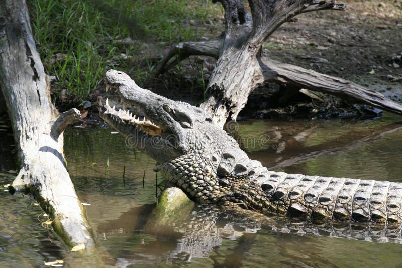 Nahes Portr?t von Nil-Krokodil, von Crocodylus niloticus, von Mund und von Z?hnen lizenzfreie stockfotografie