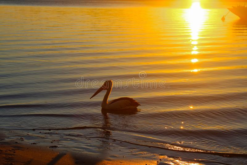 Nahes Ufer des Pelikans als die Sonne erweitert sich über dem Wasser an der Dämmerung und dreht das Sandkupfer - mit dem Bogen ei stockfoto