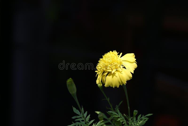 Nahes UO der gelben Ringelblumenblume stockfoto