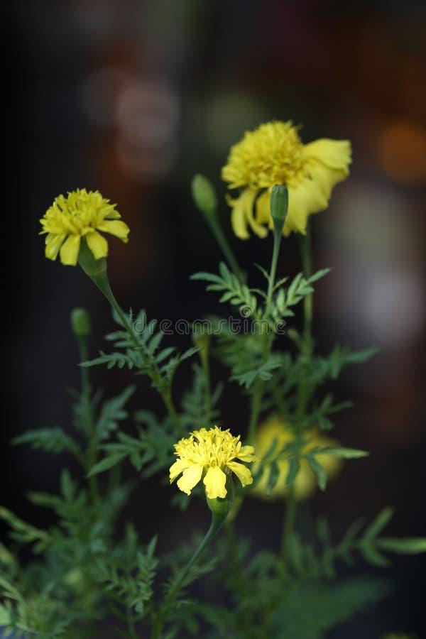 Nahes UO der gelben Ringelblumenblume lizenzfreie stockfotografie