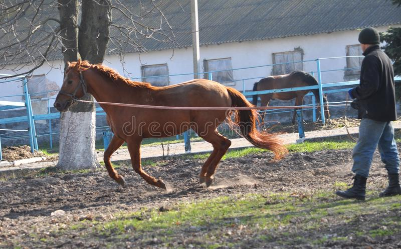 Morning warm-up horse on cord. Nahiryanka - Chortkiv - Ukraine - March 31, 2017. Coach Nahiryanka stud in the village on the morning workout using cord makes royalty free stock images