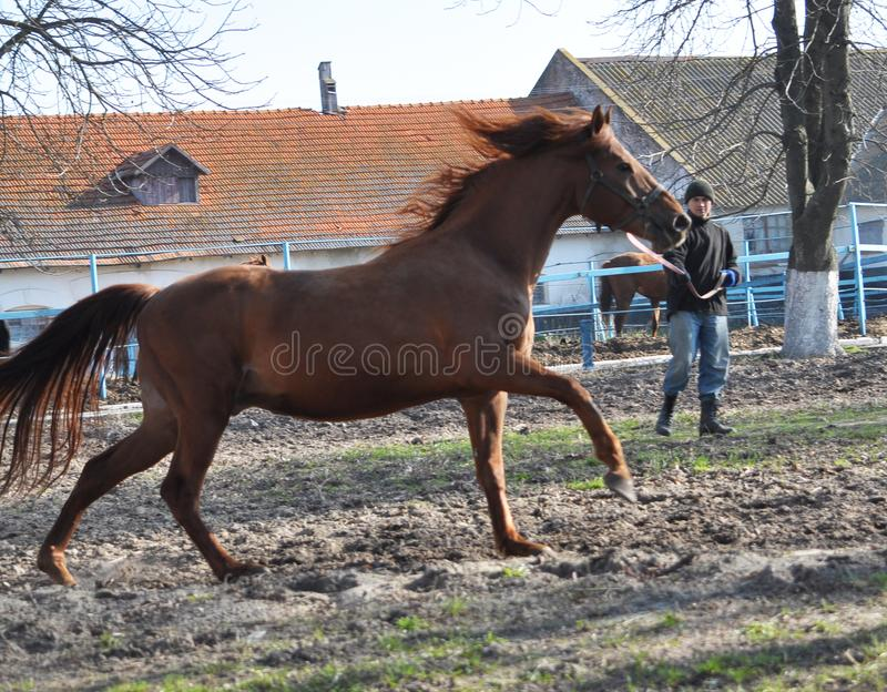 Morning warm-up horse on cord. Nahiryanka - Chortkiv - Ukraine - March 31, 2017. Coach Nahiryanka stud in the village on the morning workout using cord makes stock images
