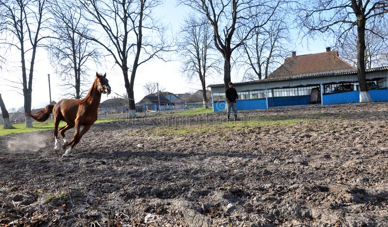 Morning warm-up horse on cord. Nahiryanka - Chortkiv - Ukraine - March 31, 2017. Coach Nahiryanka stud in the village on the morning workout using cord makes stock image