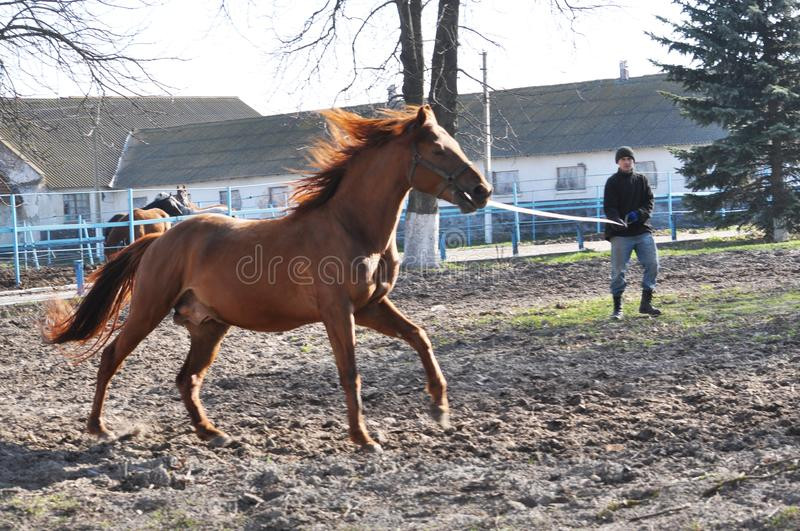 Morning warm-up horse on cord. Nahiryanka - Chortkiv - Ukraine - March 31, 2017. Coach Nahiryanka stud in the village on the morning workout using cord makes stock photo