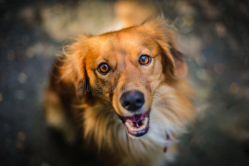 Nahporträt des jungen Mongrel-Hundes stockbilder