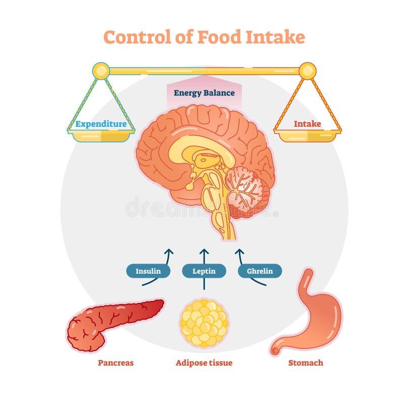 Nahrungsaufnahmesteuervektordiagrammillustration, pädagogische medizinische Informationen vektor abbildung