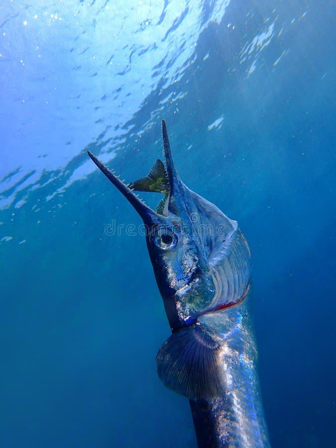 Nahrungskette wenn der rechte Moment, als die Nadelfische oder lange toms Fische, die Java-Kaninchenfische zu husten aber die Nah lizenzfreie stockfotos