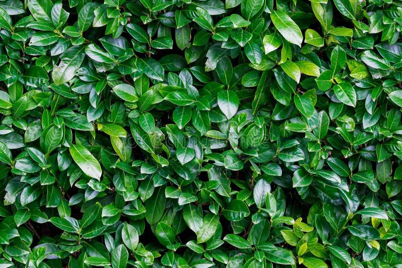 Nahtloser Hintergrund des grünen LorbeerLorbeerblatts natürlich stockbild