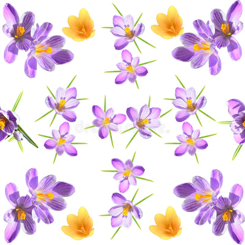 Nahtloses mit Blumenmuster des Frühlinges mit den violetten und gelben crokuses auf weißem Hintergrund lizenzfreies stockfoto