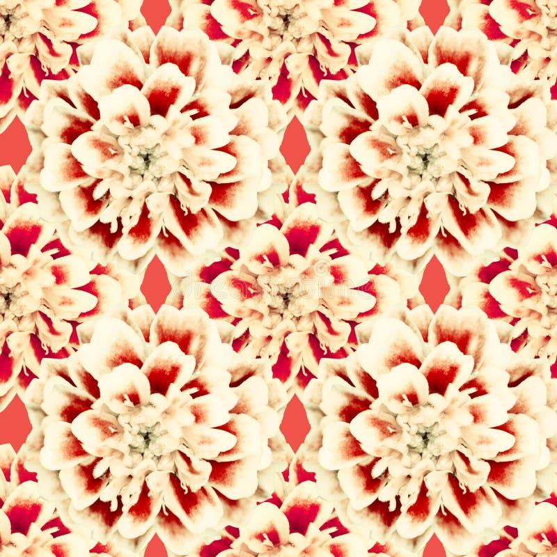 Nahtloses rotes Muster von Blumen tagetes patula stockfotos