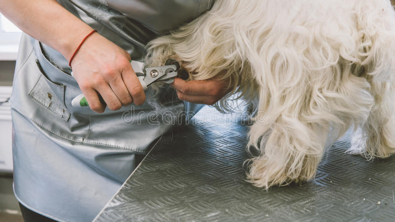 Nail trimming in dogs. Service grooming salon for dogs. Nail care dogs. Shallow focus royalty free stock photo