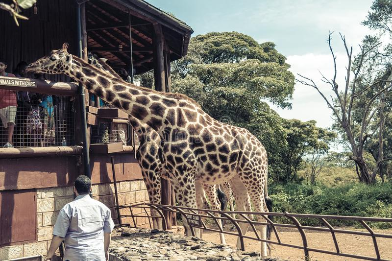 Nairobi/Kenya - 10 aprile 2017; Centro della giraffa immagini stock libere da diritti