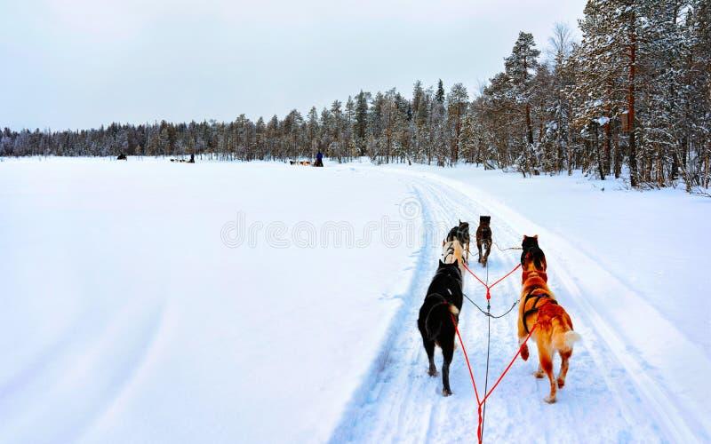 Naissance à Rovaniemi, en Finlande, dans un club de chiens Husky photographie stock
