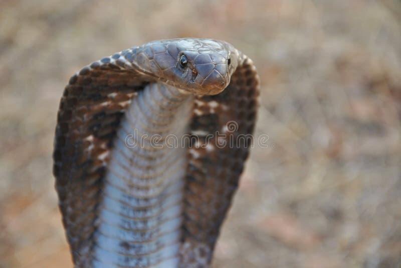 Naja à lunettes de Naja de cobra de l'Inde montrant le plein capot photographie stock
