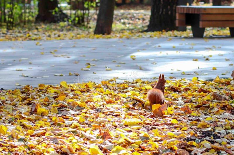 Najaar in het park, knaagdier op gele bladeren stock fotografie