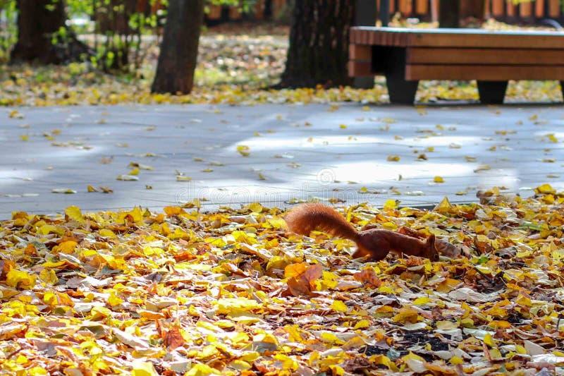Najaar in het park, knaagdier op gele bladeren stock foto
