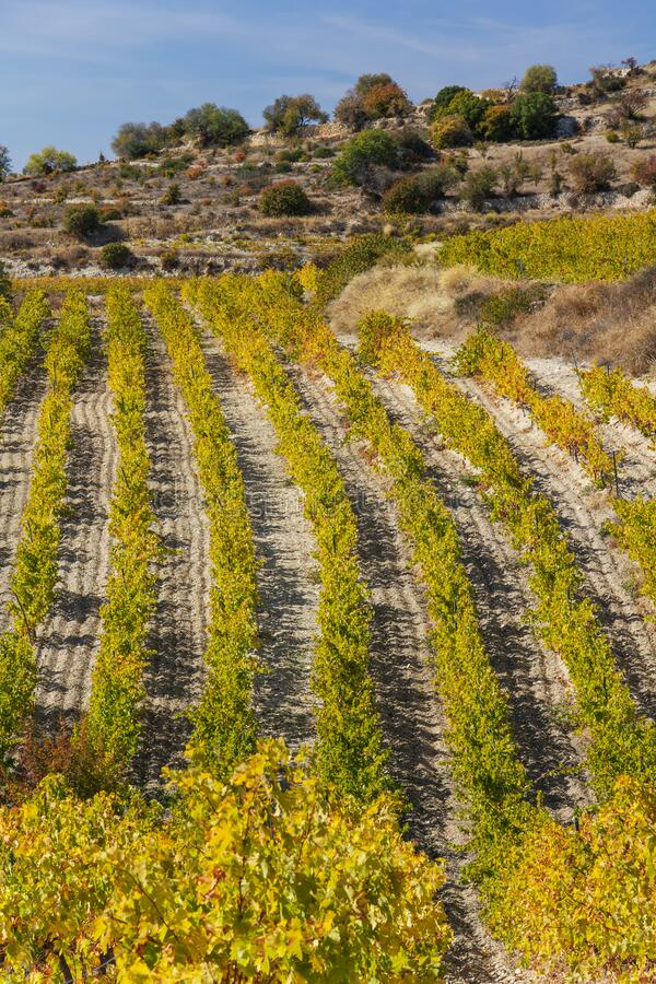 Najaarswijngaarden op een heuvel bij Malia, Cyprus stock foto