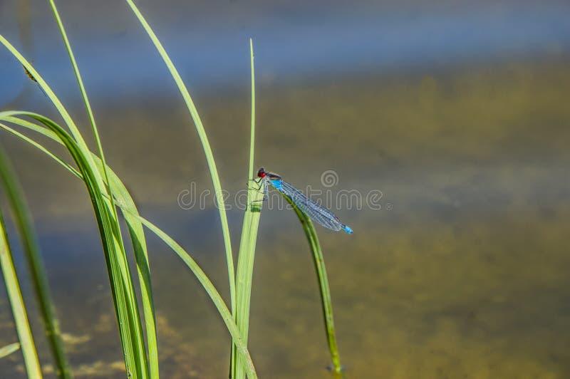 Najas de Erythromma de la libélula imagen de archivo libre de regalías