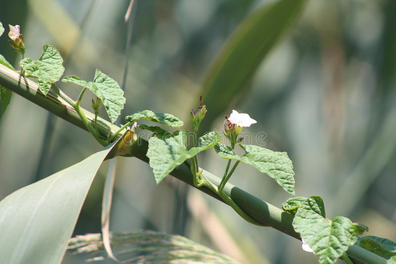 Najeźdźczy roślina gatunki fotografia royalty free