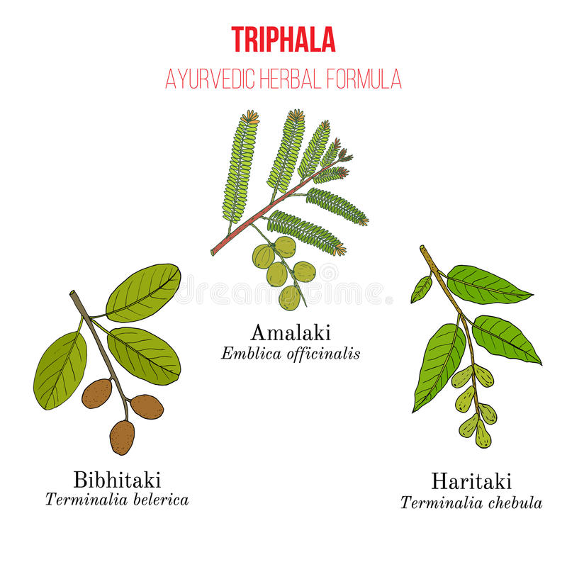 Najlepszy Ayurvedic remedium ziołowy formułowanie, Triphala z trzy ziele Amla, Hareetaki, Vibheetaki royalty ilustracja