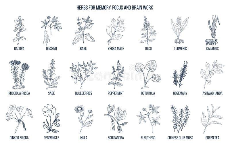Najlepszy leczniczy ziele dla pamięci, ostrości i móżdżkowej pracy, ilustracja wektor