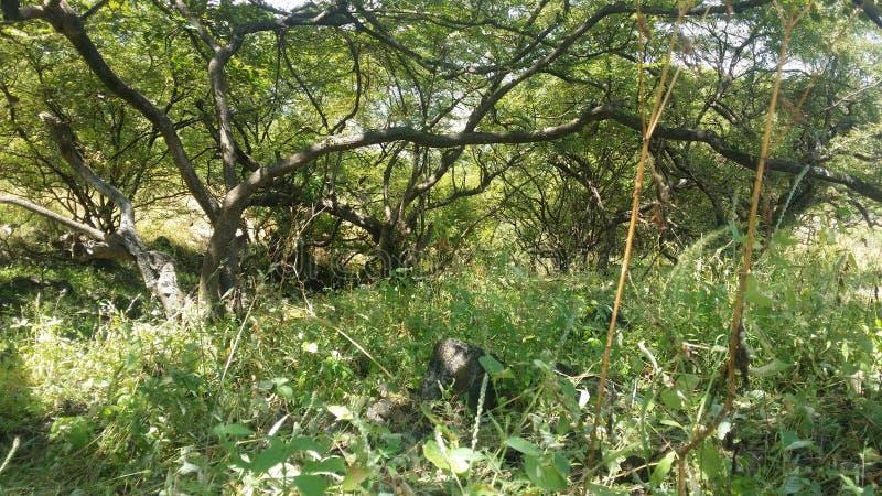 Najlepszy obrazek w Dhofar A dobrym drzewie dla traktowania nieuleczalne choroby fotografia stock