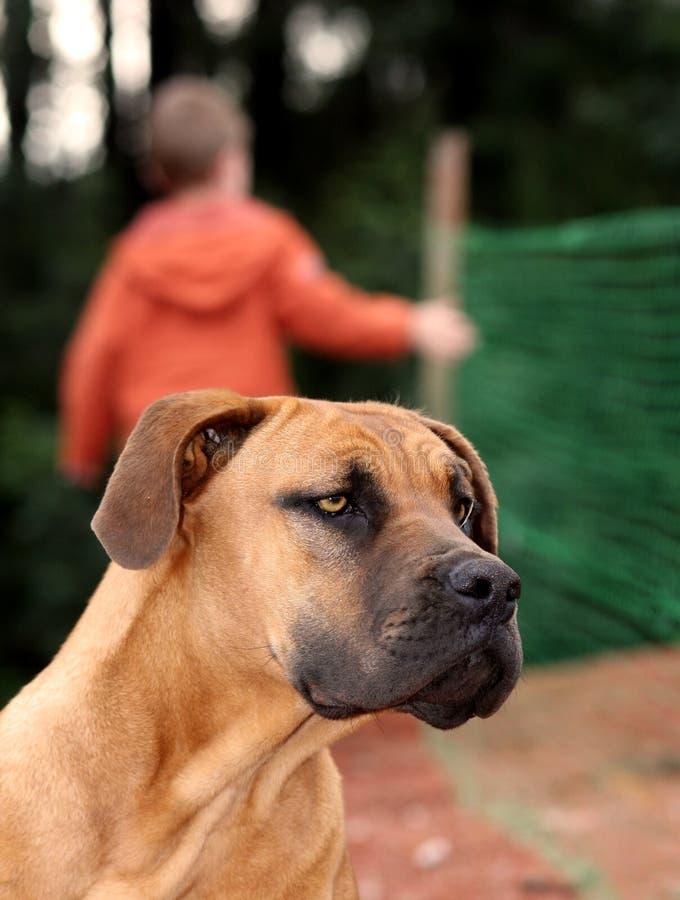 najlepszy przyjaciel boerboel psa obrazy royalty free