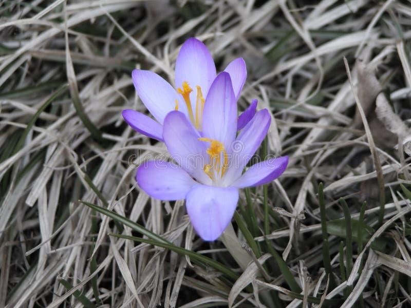 najpierw krokus rozkwita wiosna zdjęcie stock