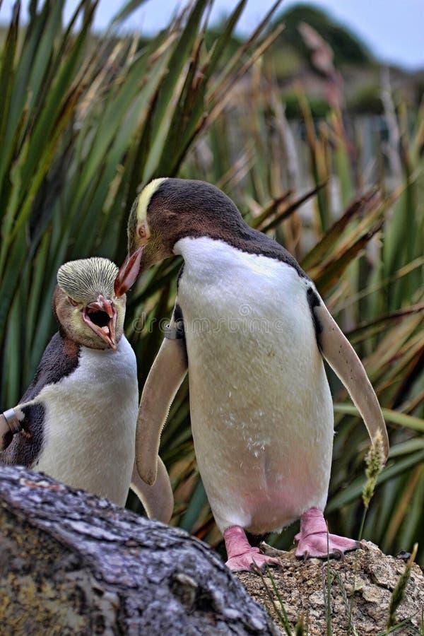 Najwięcej cennego pingwinu utrzymania, Przyglądający się pingwin, Megadyptes antipodes, Nowa Zelandia obraz stock