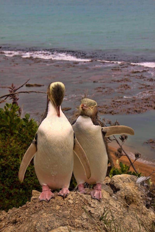 Najwięcej cennego pingwinu utrzymania, Przyglądający się pingwin, Megadyptes antipodes, Nowa Zelandia fotografia royalty free