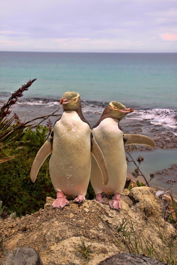 Najwięcej cennego pingwinu utrzymania, Przyglądający się pingwin, Megadyptes antipodes, Nowa Zelandia fotografia stock
