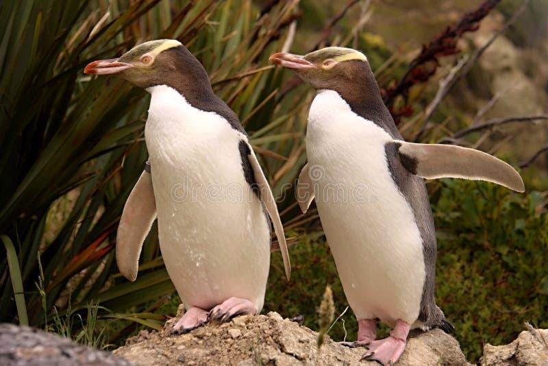 Najwięcej cennego pingwinu utrzymania, Przyglądający się pingwin, Megadyptes antipodes, Nowa Zelandia zdjęcia stock