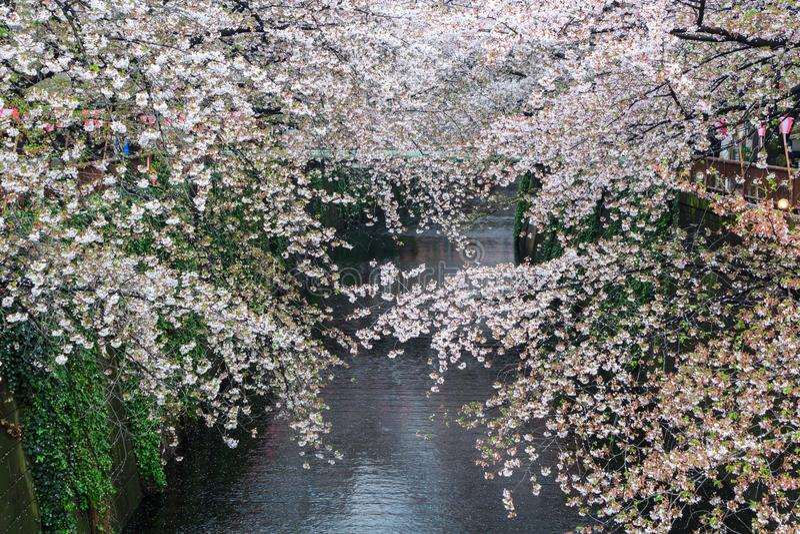 Nakameguro kanał ten teren jest popularnym Sakura punktem w Tokio zdjęcia stock