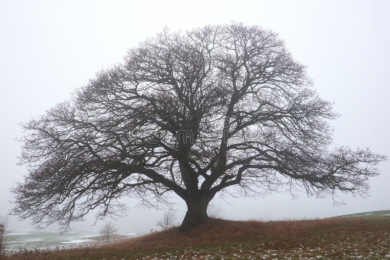 Naked big oak tree in the haze. Big naked oak tree standing on a slope in winter foggy weather royalty free stock image