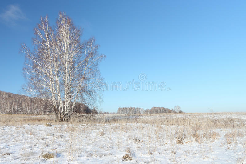 The naked birch standing on a snow glade in the winter. Siberia, Russia royalty free stock images