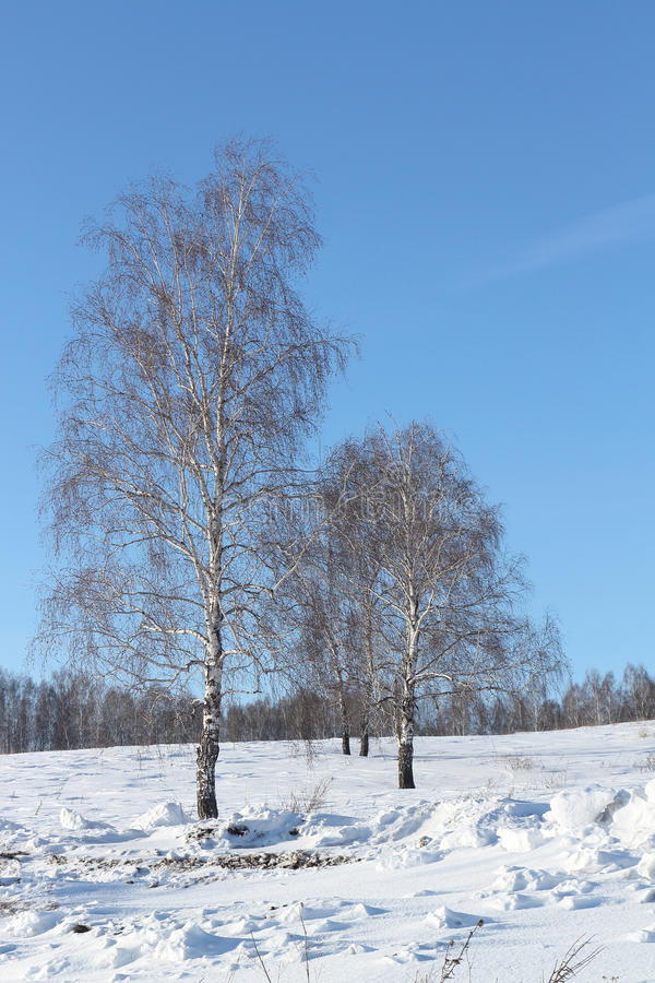 The naked birches standing on a snow glade. In the winter royalty free stock image