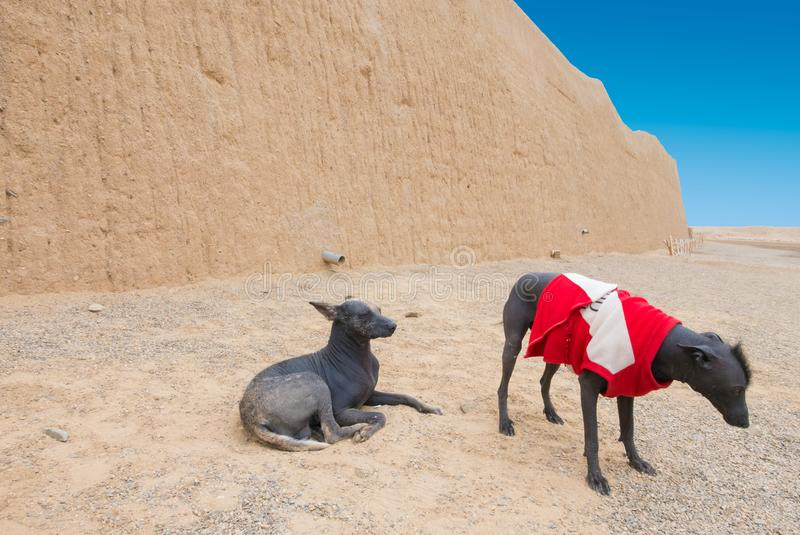 Naked dogs of Peru royalty free stock image