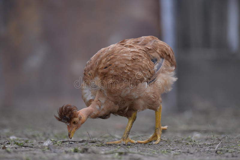 Naked neck chicken eating. Naked neck chicken or Transylvanian naked neck eating stock image
