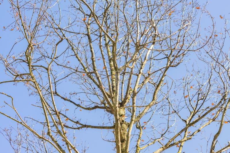Naked oak tree on blue sky background.  royalty free stock photo