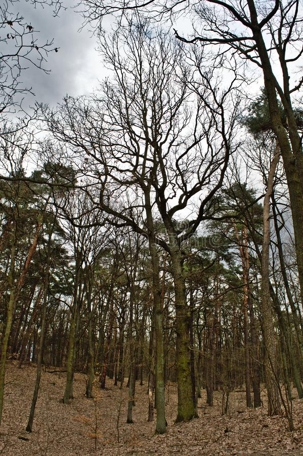 Naked oaks royalty free stock image